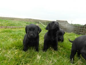 Breeding and Sales - Stud Dogs, Dogs and Puppies